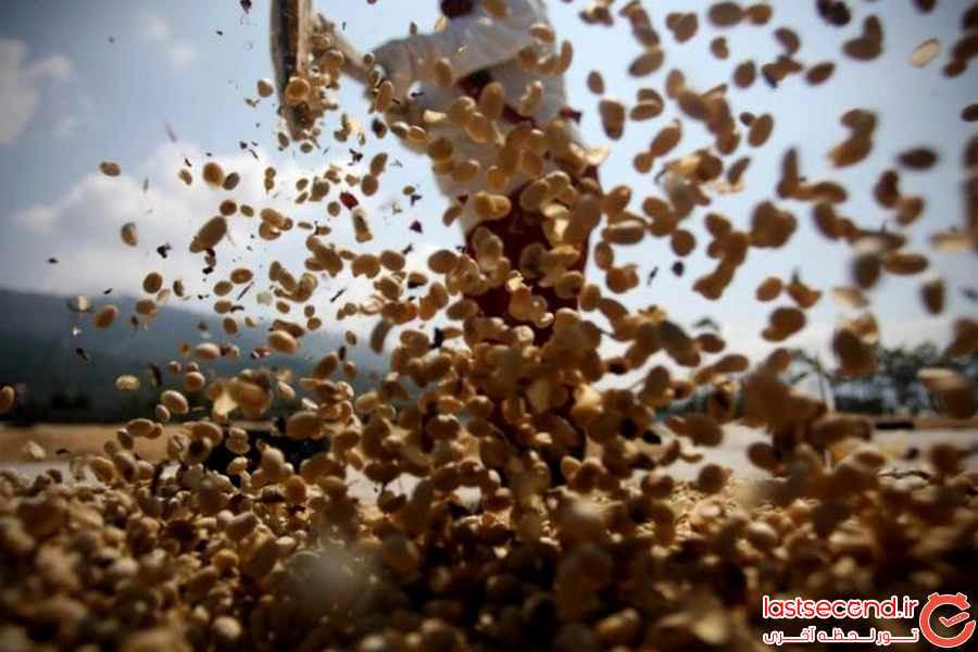 مراحل تولید گران ترین قهوه جهان از مدفوع حیوان