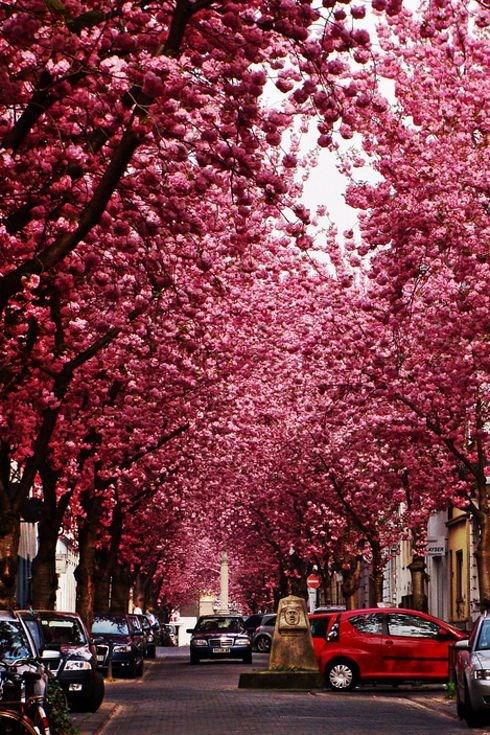 خیابان شکوفه های گیلاس در بن آلمان