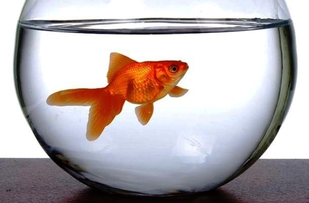 قانون عجیب و غریب در مونزا: ماهی قرمز در تنگ نگذارید