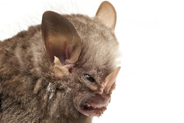 خفاش شانه سفید