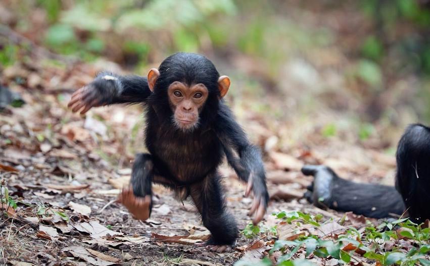 آیا بیماری ایدز از شامپانزه به انسان منتقل میشود؟