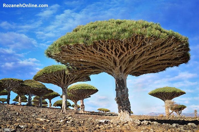 درختان Dragonblood یا به اصطلاح فارسی, خون اژدها جزیره Socotra (سوکوترا), یمن