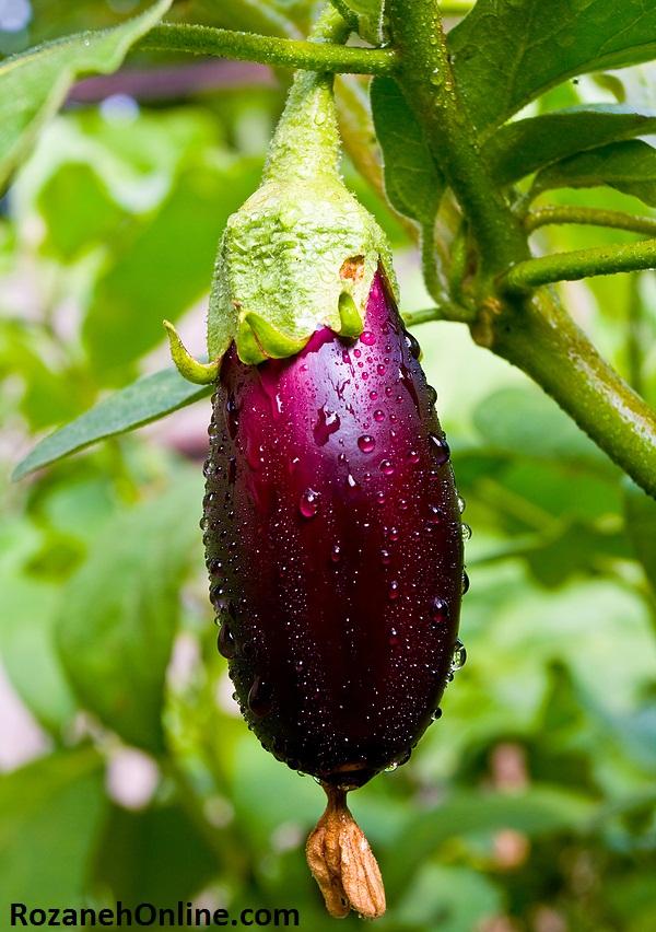 خوردن ریشه و ساقه چه گیاهانی برای بدن مضر است
