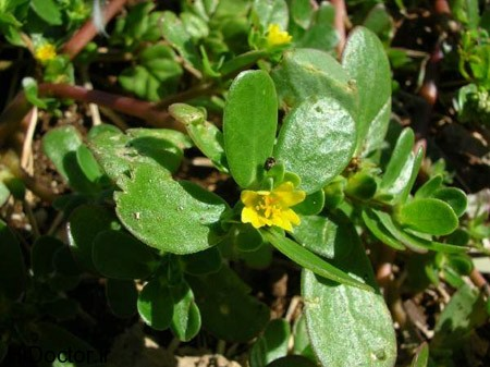 منبع امگا 3 در گیاه خرفه