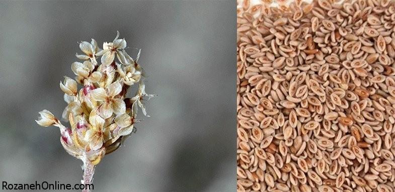 بررسی ویژگی های درمانی گیاه اسفرزه