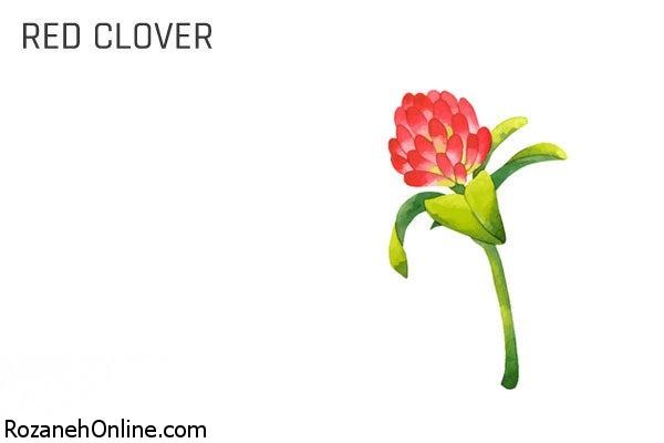 شبدر قرمز از گیاهان دارویی موثر برای پاکسازی خون