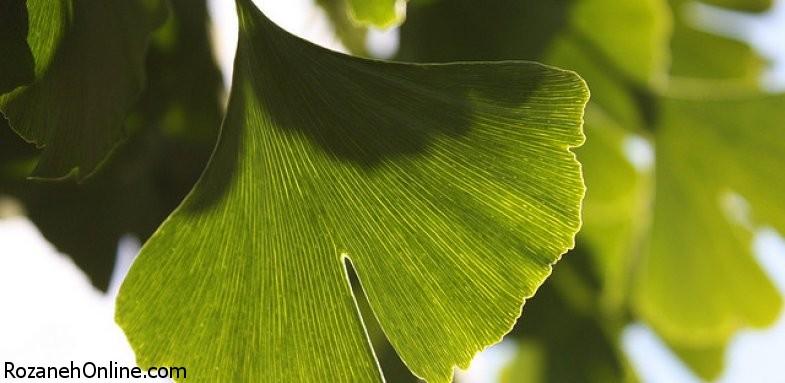 آشنایی با ویژگی های درمانی گیاه جینکو