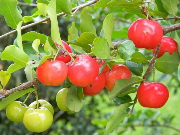 تصاویر دیدنی و عکس های جالب از میوه آسرولا