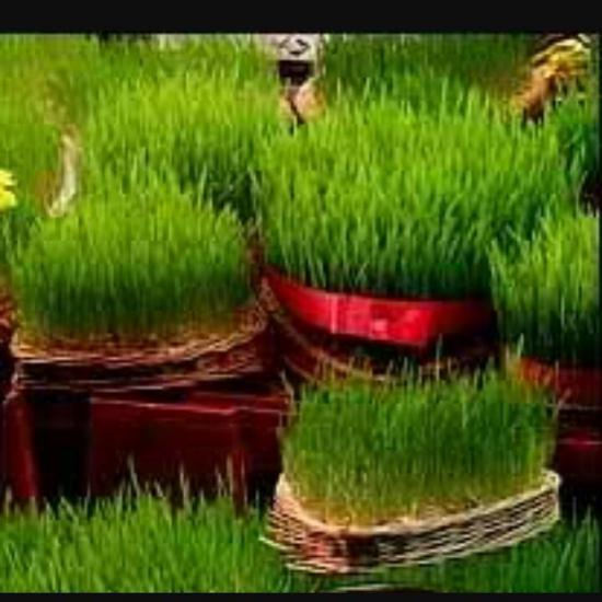 مدل سبزه عید نوروز 1397 زیبا و دوست داشتنی