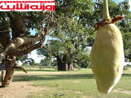 هر آنچه لازم است درباره فواید میوه بائوباب بدانید