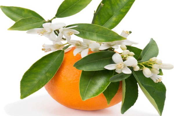 آنچه درباره خاصیت شگفت انگیز بهار نارنج نمیدانید