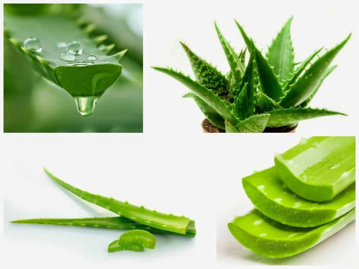 درمان این بیماری ها با گیاه آلوئه ورا