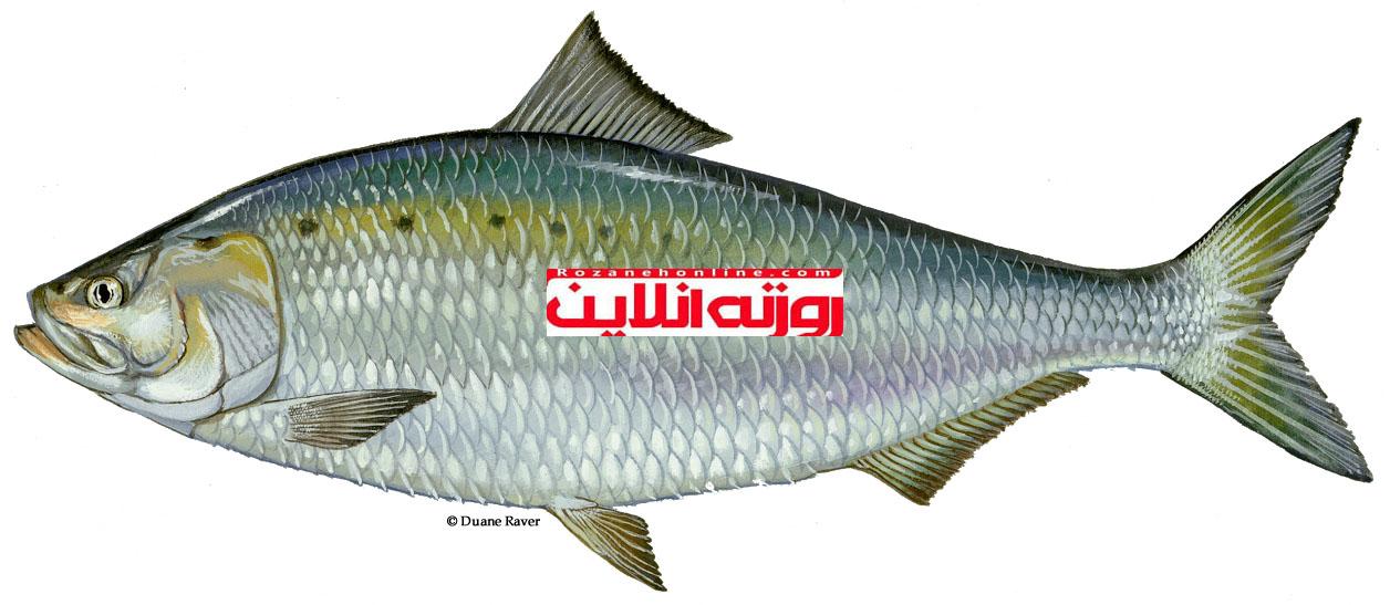 چطور یک ماهی سالم انتخاب کنید